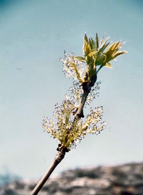 blommar på bar kvist ask